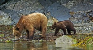 Grizzly bears are viewed as a barometer of an ecosystem's health.