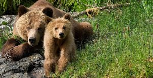 Grizzly bears by Robert Scriba