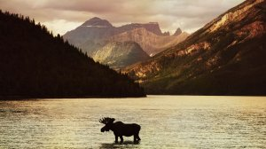 Photo of bull moose standing in mountain lake