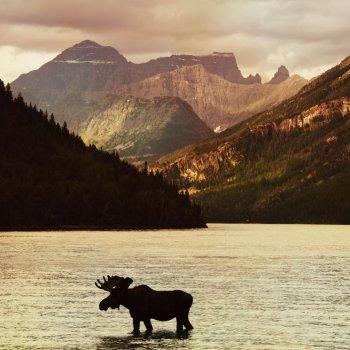 Photo of bull moose standing in mountain lake