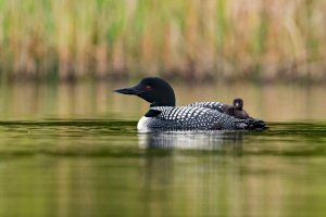 Common loons nest on Alvord Lake.