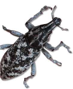 Vital Ground uses root-boring weevils to fight noxious weeds.