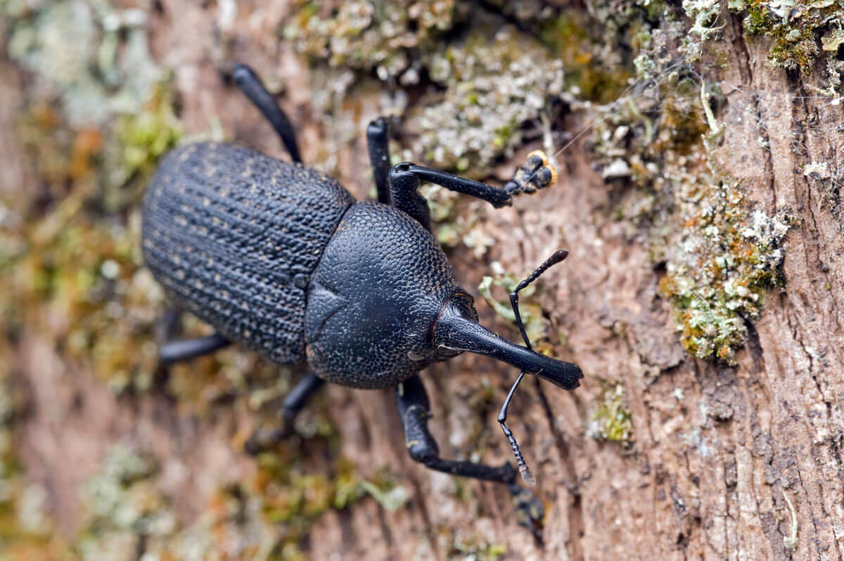 Close-up photo of weevil on tree bark
