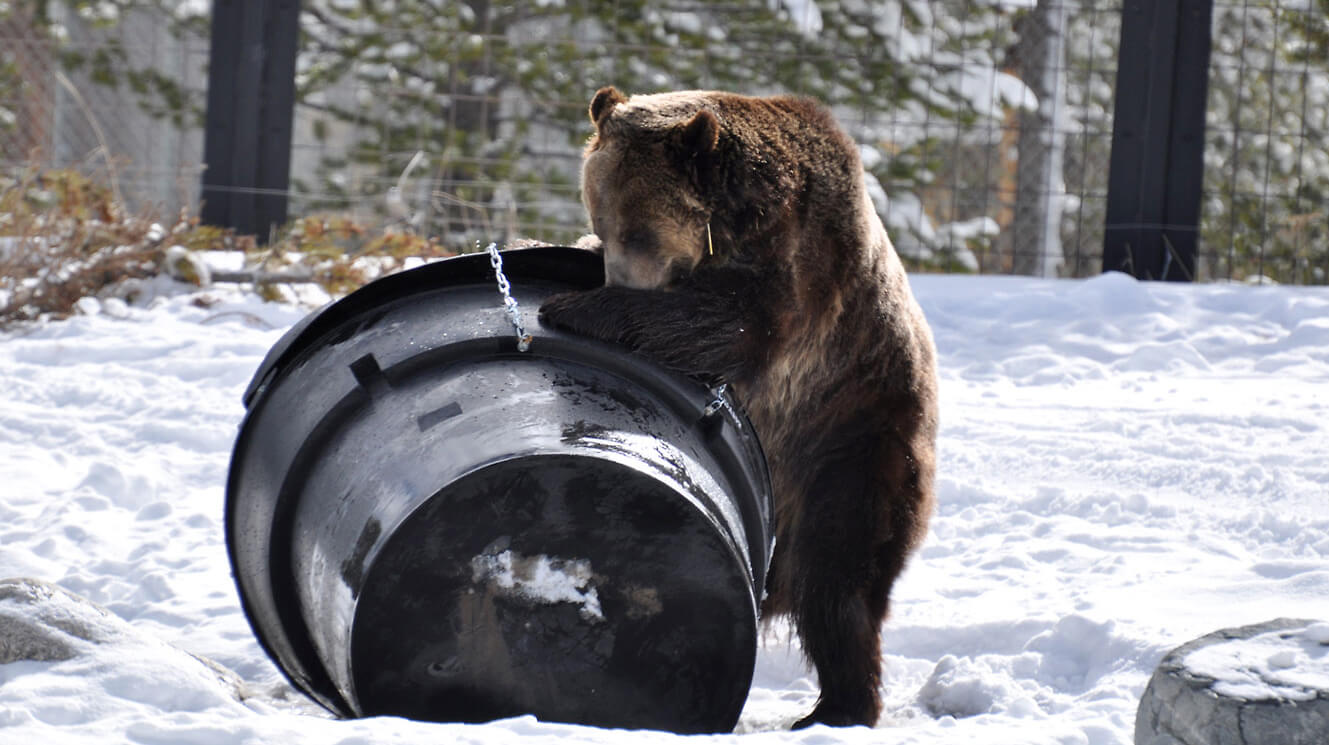 Grizzly testing bear-proof garbage can