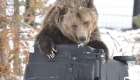 Patti Swoka photo of grizzly bear knocking over bear-proof garbage container
