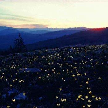 Lance Schelvan photo of Yaak wildflowers at sunset