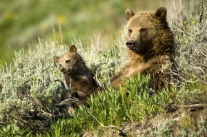 Thomas D. Mangelsen photo of grizzly sow and cub lying amid sagebrush on a hillside in Yellowstone National Park
