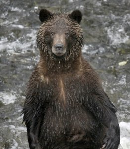 Kevin Rhoades photo of wet grizzly bear