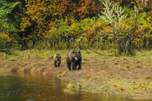Robert Scriba photo of grizzly sow and cub following a riverbank amid autumn color