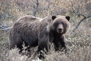 Thomas Mangelsen photo of grizzly in late fall