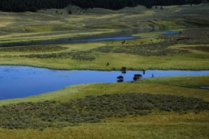 Thomas Mangelsen photo of bison standing in the Yellowstone River as it flows through Hayden Valley.