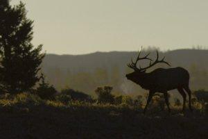 Lance Schelvan photo of bull elk bugling