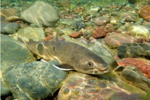 Photo of Bull Trout in creek