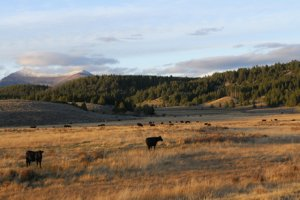 Photo of Pintler Mountains and cattle at sunset