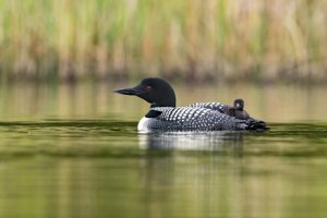 Baby Loon chick catching a ride on Mother's back