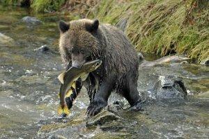 Robert Scriba photo of brown bear cub catching salmon