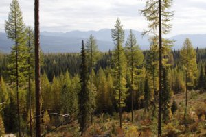 Photo of western larch trees showing fall color near Deer Creek in the lower Swan Valley.
