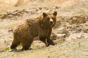 Harry Reynolds photo of Gobi Desert grizzly bear