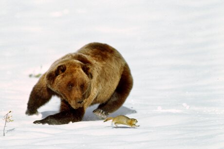Thomas Mangelsen photo of a grizzly bear running to catch a ground squirrel in the autumn snow.