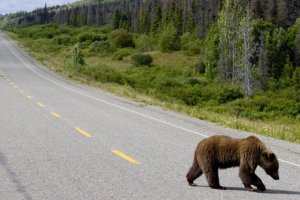 Steven Freygang photo of grizzly crossing highway