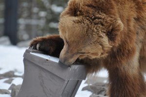Photo by Patti Sowka of grizzly trying to open bear-proof garbage container