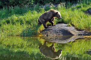 Robert Scriba photo of grizzly traversing the edge of a lake.
