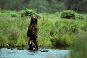 Philip DeManczuk photo of Kodiak brown bear and her cub fishing by a stream.
