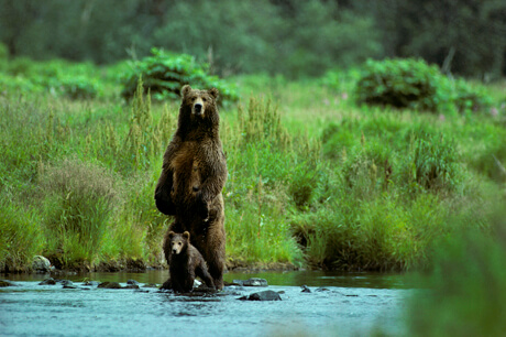 Philip DeManczuk photo of Kodiak brown bear and her cub fishing by a stream.