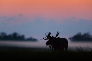 Photo of a bull moose at twilight