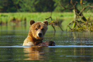 Jamie Scarrow photo of wet grizzly in lake