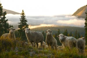 Photo of sheep flock in the fog