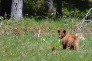 Simmons Meadows grizzly cub