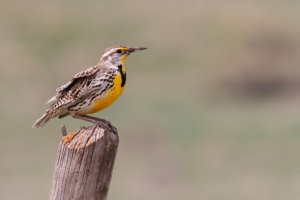 Photo of Western Meadowlark on fence post