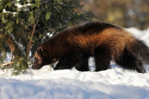 Wolverine in winter