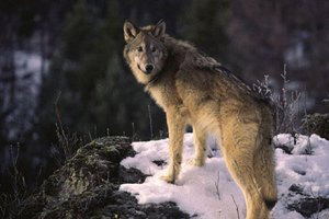Kevin Rhoades photo of gray wolf in Yellowstone National Park