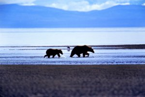 Philip DeManczuk photo of an Alaskan brown bear sow and her cub walk along the shores of the Kenai Peninsula in Alaska.