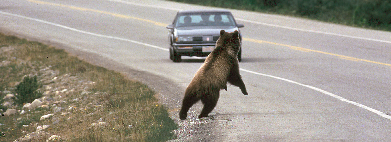Photo of grizzly on road and incoming car