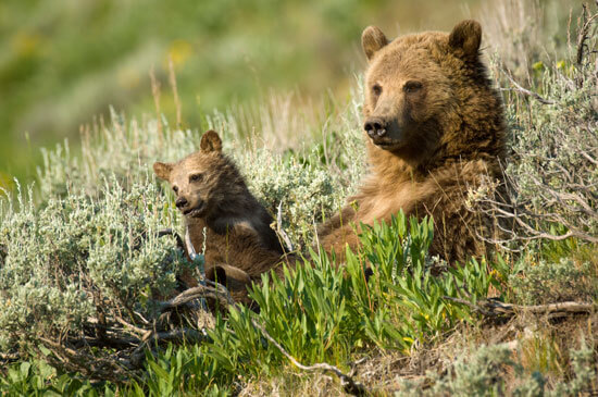 Tom Mangelsen photo of grizzly bear sow with cub.