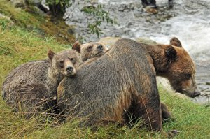 Robert Scriba photo of grizzly bear mother and two yearling cubs.