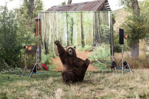 Photo of Bart the Bear II waving from the set of his new Kodiak Cakes advertisement