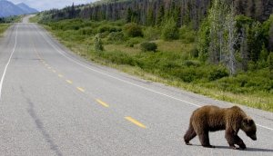 Steven Freygang photo of grizzly bear crossing highway
