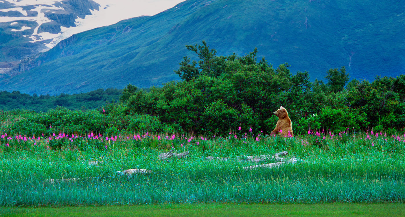 Thomas D. Mangelsen image of standing grizzly amid fireweed