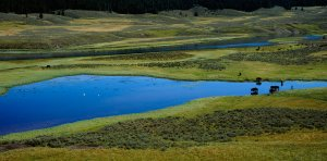 Tom Mangelsen overhead photo of bison along the Lamar River in Yellowstone National Park
