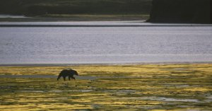 Larry Aumiller photo of grizzly walking along estuary