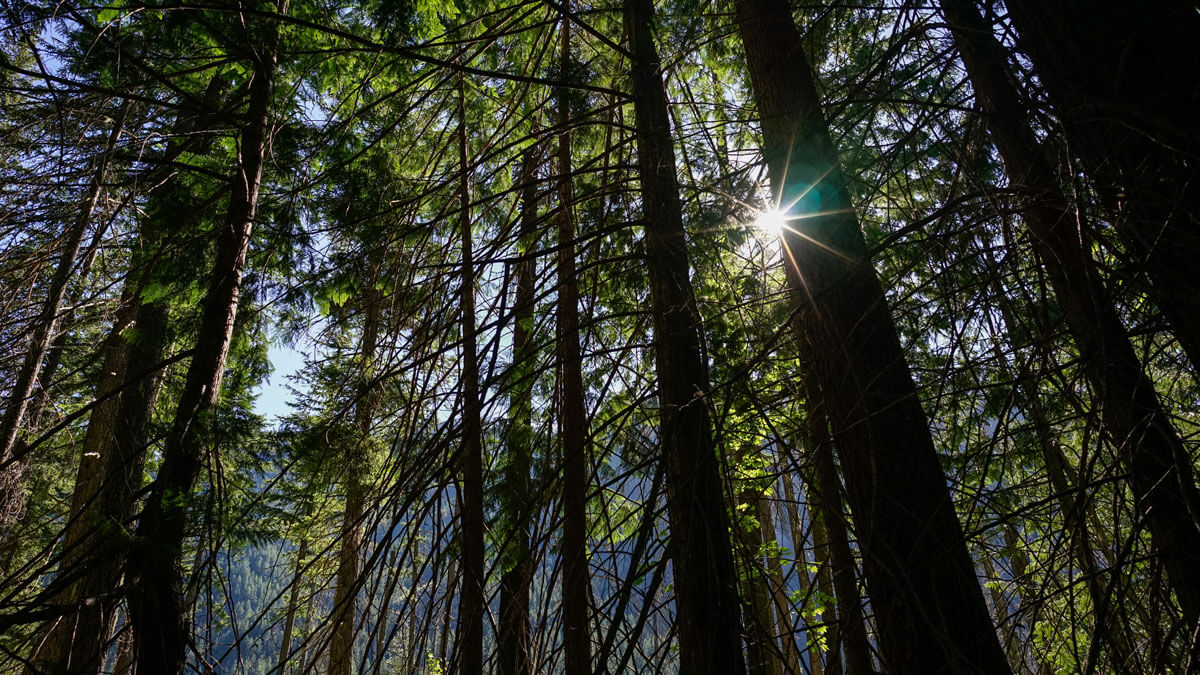 Photo of sunlight shining through old growth forest in the Pacific Northwest