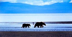 Philip DeManczuk photo of Alaskan brown bear sow and cub walking along the beach in Kenai National Park