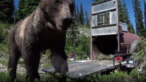 Screenshot from Time for the Grizzly film -- grizzly bear walking out of trap