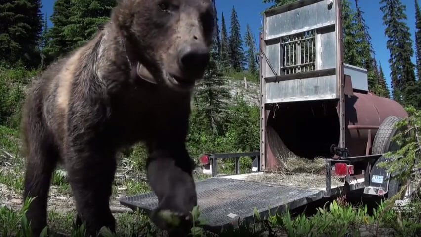 Time for the Grizzly - video screenshot - close up of bear with radio collar