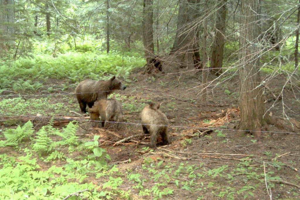 Trail camera photo of sow grizzly and two cubs at a hair corral study site in the Cabinet-Yaak Ecosystem