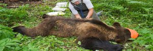 Photo of biologist measuring the heart rate of a tranquilized grizzly bear